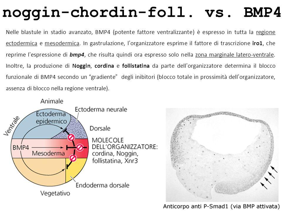 noggin-chordin-foll. vs. BMP4 Nelle blastule in stadio avanzato, BMP4 (potente fattore ventralizzante) è espresso in tutta la regione ectodermica e me