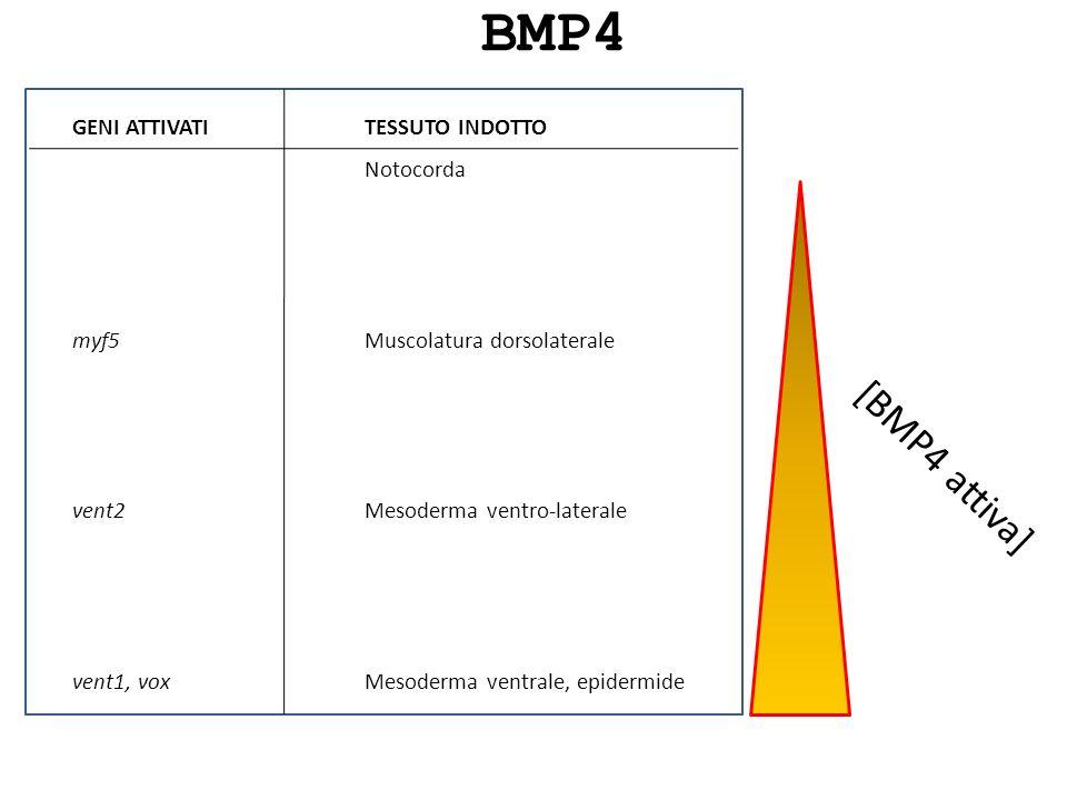 [BMP4 attiva] BMP4 TESSUTO INDOTTO Notocorda Muscolatura dorsolaterale Mesoderma ventro-laterale Mesoderma ventrale, epidermide GENI ATTIVATI myf5 ven