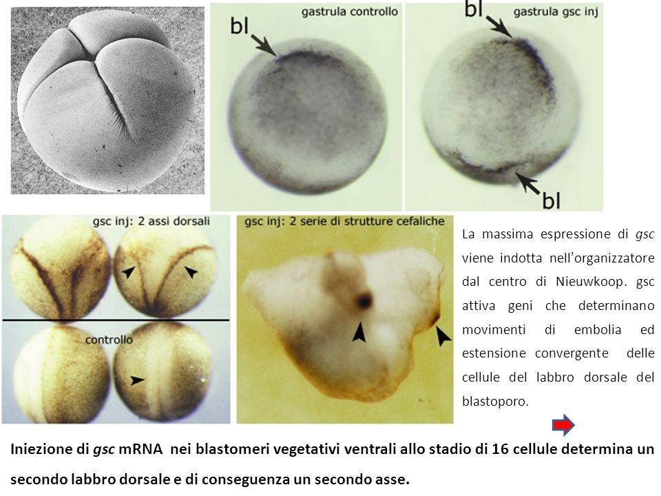 [BMP4 attiva] BMP4 TESSUTO INDOTTO Notocorda Muscolatura dorsolaterale Mesoderma ventro-laterale Mesoderma ventrale, epidermide GENI ATTIVATI myf5 vent2 vent1, vox