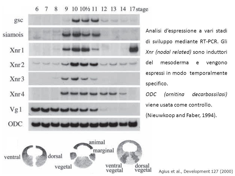 Analisi despressione a vari stadi di sviluppo mediante RT-PCR. Gli Xnr (nodal related) sono induttori del mesoderma e vengono espressi in modo tempora