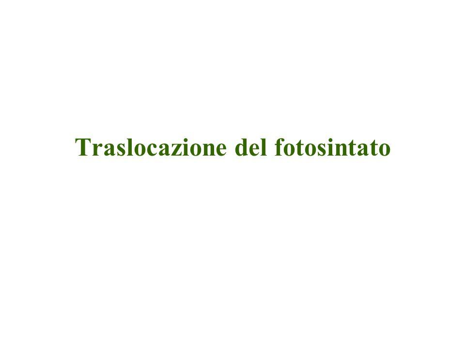 Trasporto floematico Il processo redistribuisce: –Fotosintato (zuccheri, 0.3-0.9M) –Altri composti organici (es.