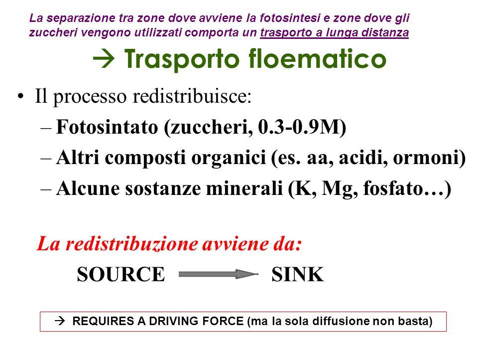 Trasporto floematico Il processo redistribuisce: –Fotosintato (zuccheri, 0.3-0.9M) –Altri composti organici (es. aa, acidi, ormoni) –Alcune sostanze m