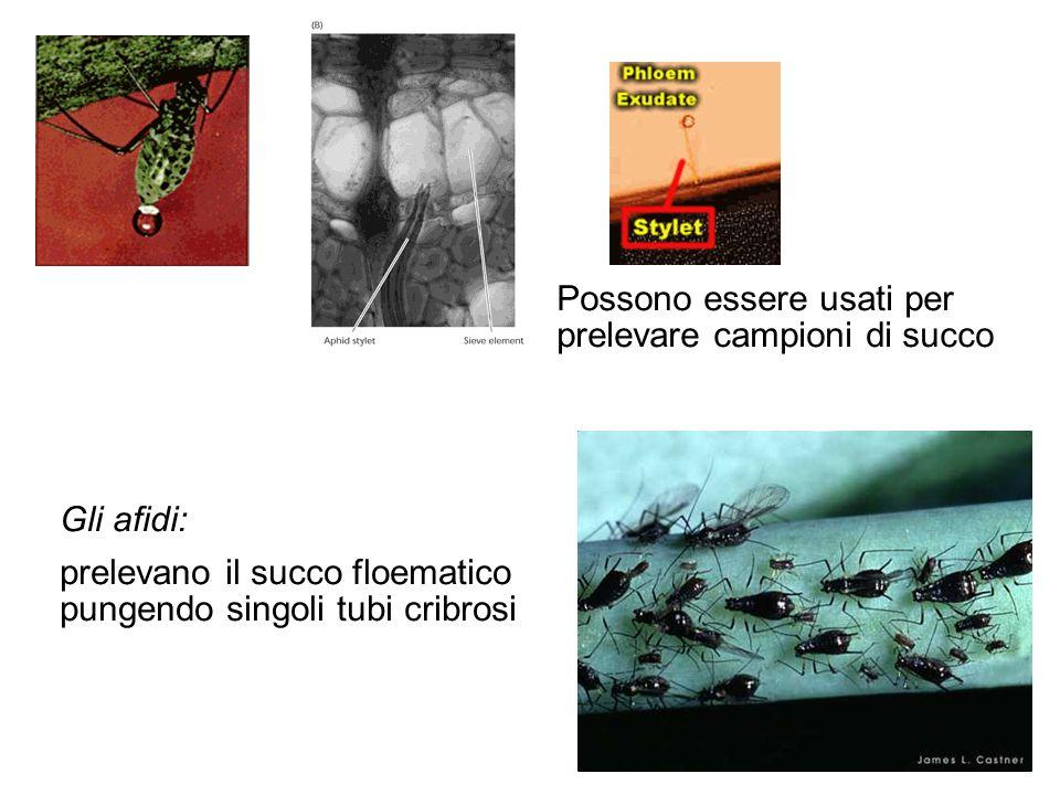 Gli afidi: prelevano il succo floematico pungendo singoli tubi cribrosi Possono essere usati per prelevare campioni di succo