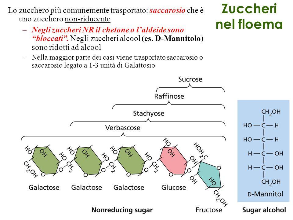 Zuccheri nel floema Lo zucchero più comunemente trasportato: saccarosio che è uno zucchero non-riducente –Negli zuccheri NR il chetone o laldeide sono