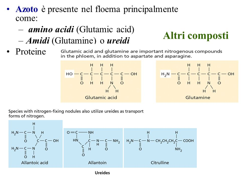 Altri composti Azoto è presente nel floema principalmente come: – amino acidi (Glutamic acid) –Amidi (Glutamine) o ureidi Proteine