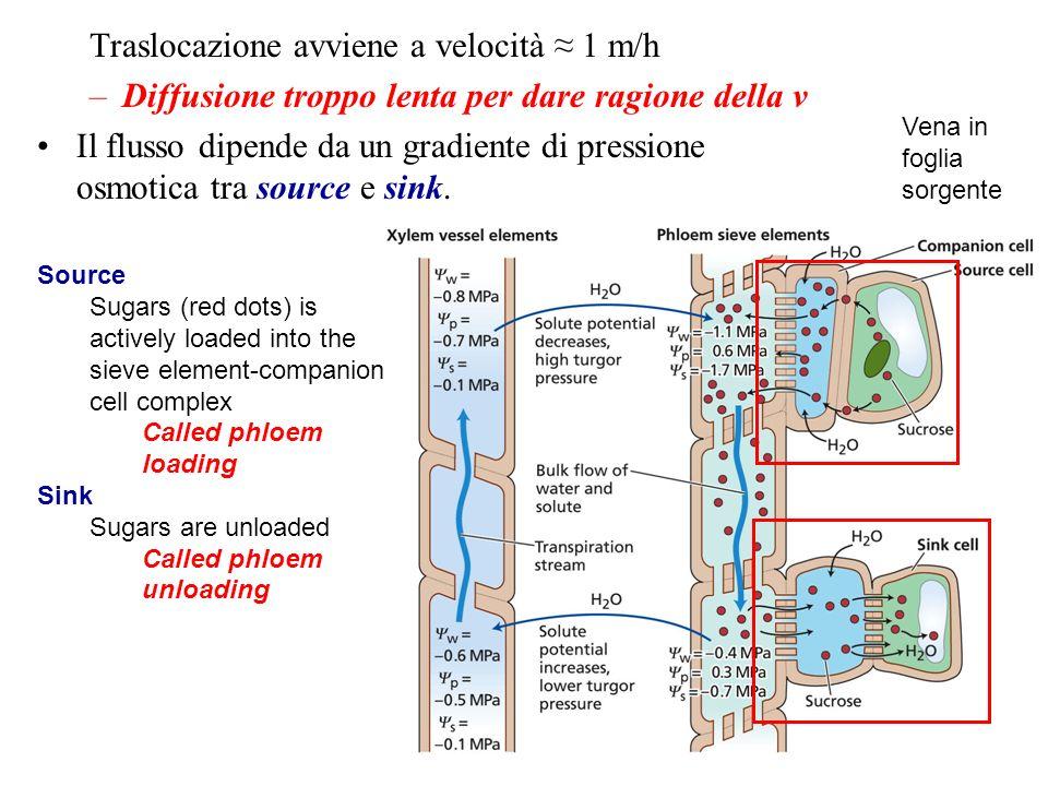 Traslocazione avviene a velocità 1 m/h –Diffusione troppo lenta per dare ragione della v Il flusso dipende da un gradiente di pressione osmotica tra s