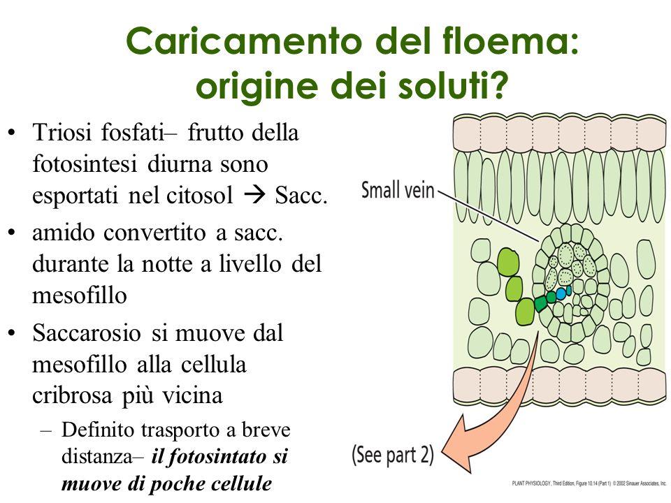Caricamento del floema: origine dei soluti? Triosi fosfati– frutto della fotosintesi diurna sono esportati nel citosol Sacc. amido convertito a sacc.