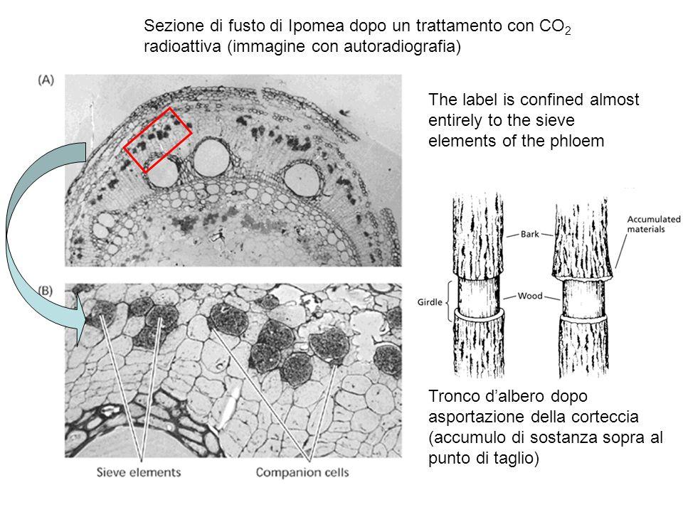 Sezione trasversale un fascio vascolare di trifoglio Meristema primario