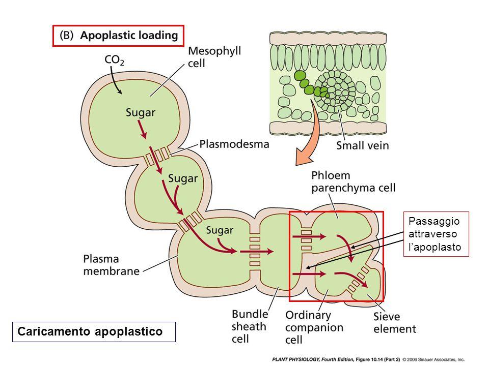 Passaggio attraverso lapoplasto Caricamento apoplastico