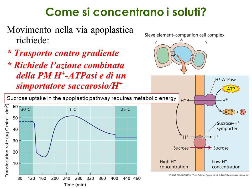 Come si concentrano i soluti? Movimento nella via apoplastica richiede: * Trasporto contro gradiente * Richiede lazione combinata della PM H + -ATPasi