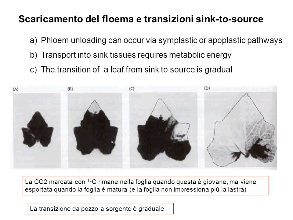 Scaricamento del floema e transizioni sink-to-source a)Phloem unloading can occur via symplastic or apoplastic pathways b)Transport into sink tissues