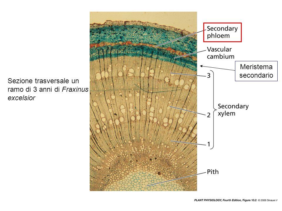 Sezioni colorate per carboidrati (rosso) e blu di anilina per le proteine vasi xilematici: morti e con pareti ispessite.