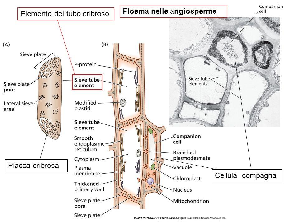 Elemento del tubo cribroso Placca cribrosa Cellula compagna Floema nelle angiosperme