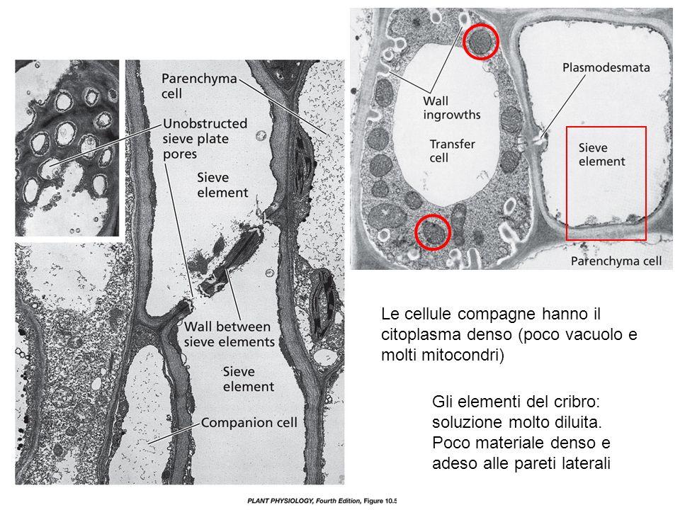 Le cellule compagne hanno il citoplasma denso (poco vacuolo e molti mitocondri) Gli elementi del cribro: soluzione molto diluita. Poco materiale denso