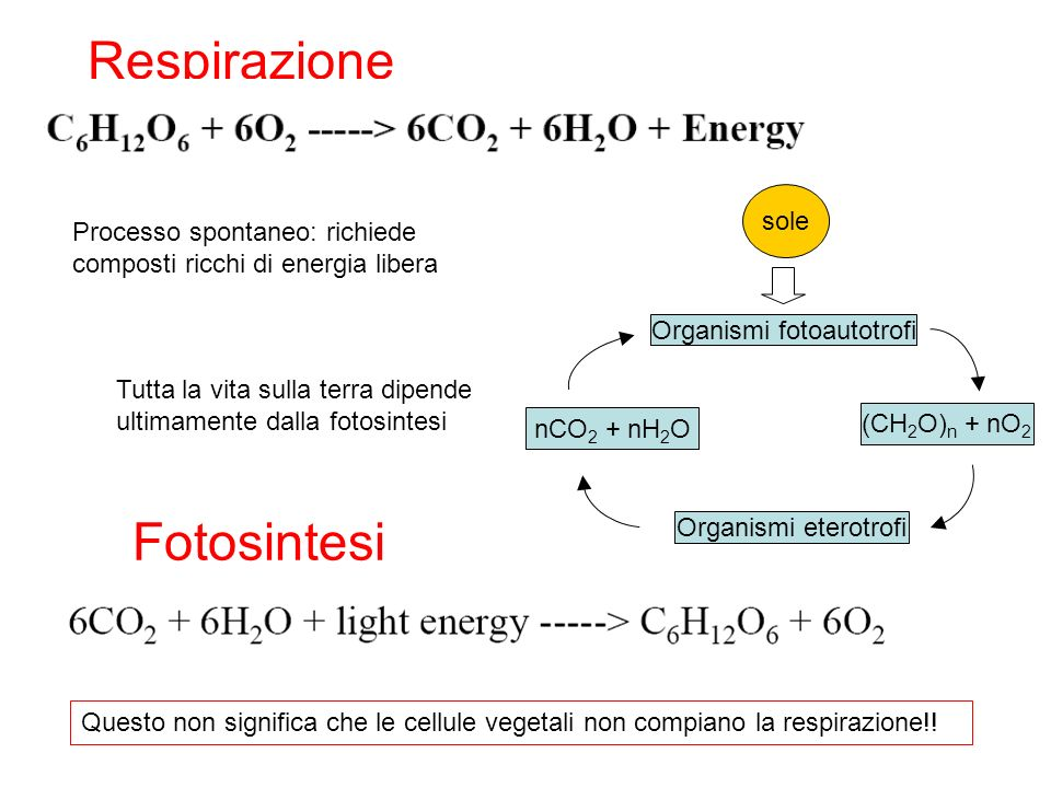 NADP reductase 2H 2 O O 2 + 4H + 2H + + 2NADP NADPH 4 e - 4 photons 2 H + CYT B 6 f PC PSI PSII Fd The Path of Electron and Proton Flow in Photosynthetic Electron Transport PQ