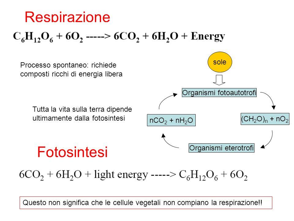S a, * S b, * T, * energia calore Chl + h = Chl* Il livello con la maggiore molteplicità di spin ha energia minore Assorbimento Eccitazione della clorofilla