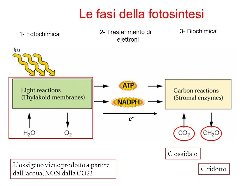 Condizioni che favoriscono la fotoinibizione: -alta luce -bassa T (rallenta il ciclo di Calvin) -carotene* + Chl -carotene + Chl* Carotenoidi fungono da pigmenti accessori Chl + h 1 Chl* 3 Chl* 3 Chl*+ O 2 Chl + 1 O 2 1 O 2 può ossidare numerosi composti: è un composto tossico e occorre eliminarlo Carotenoidi fungono da dissipatori di energia Il ciclo delle xantofille ha come scopo proprio quello di dissipare i fotoni In eccesso (quelli che non riescono a essere processati) Carotenoidi duplice funzione: Plants have mechanisms that protect against adverse effects of strong light.