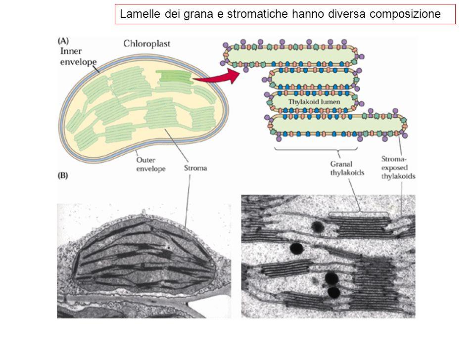 Lo spettro dazione Descrive lefficacia di varie nel determinare una risposta biologica specifica Fa capire che non tutte le lunghezze donda sono ugualmente efficaci E uno spettro, ma non di assorbimento!