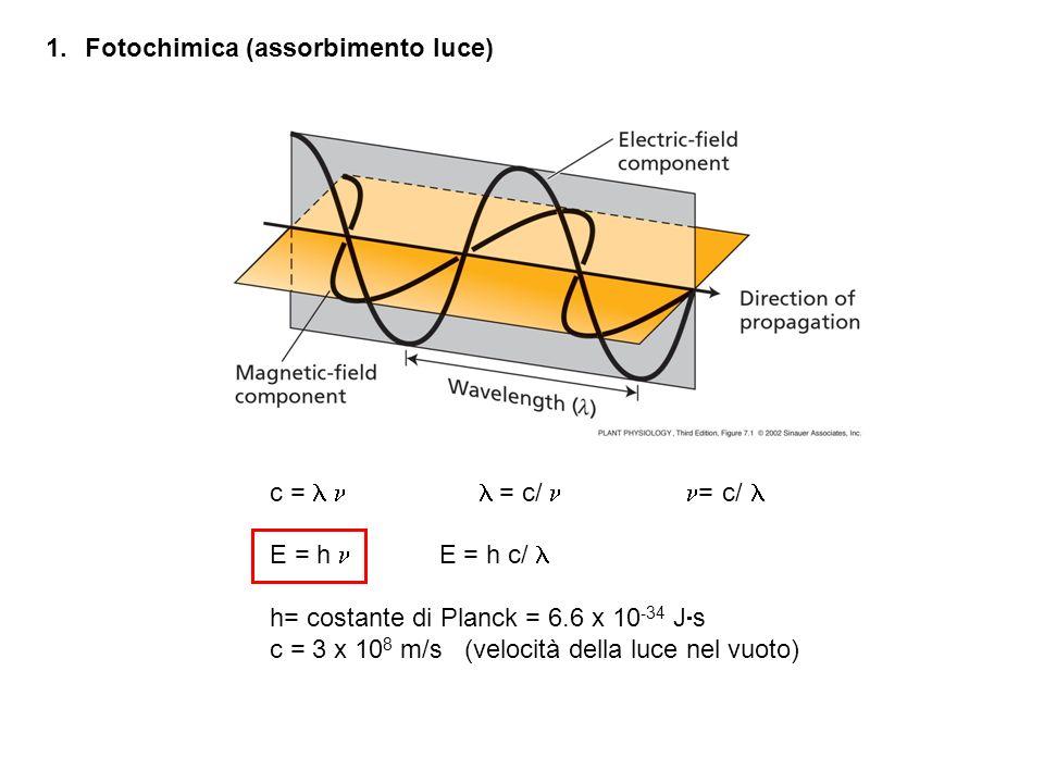 Lo spettro dazione della fotosintesi e quello di assorbimento della Chl sono molto simili la Chl è il recettore