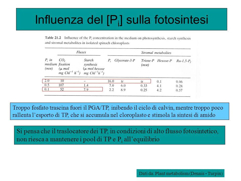 Influenza del [P i ] sulla fotosintesi Si pensa che il traslocatore dei TP, in condizioni di alto flusso fotosintetico, non riesca a mantenere i pool