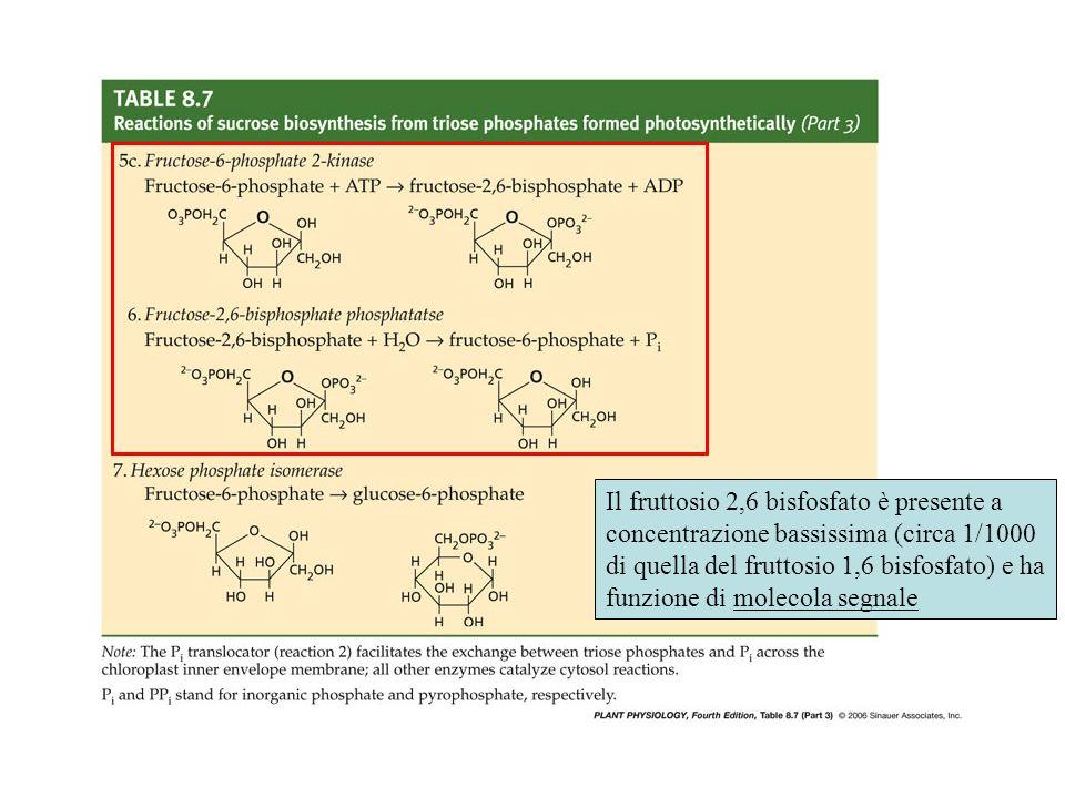 Il fruttosio 2,6 bisfosfato è presente a concentrazione bassissima (circa 1/1000 di quella del fruttosio 1,6 bisfosfato) e ha funzione di molecola seg