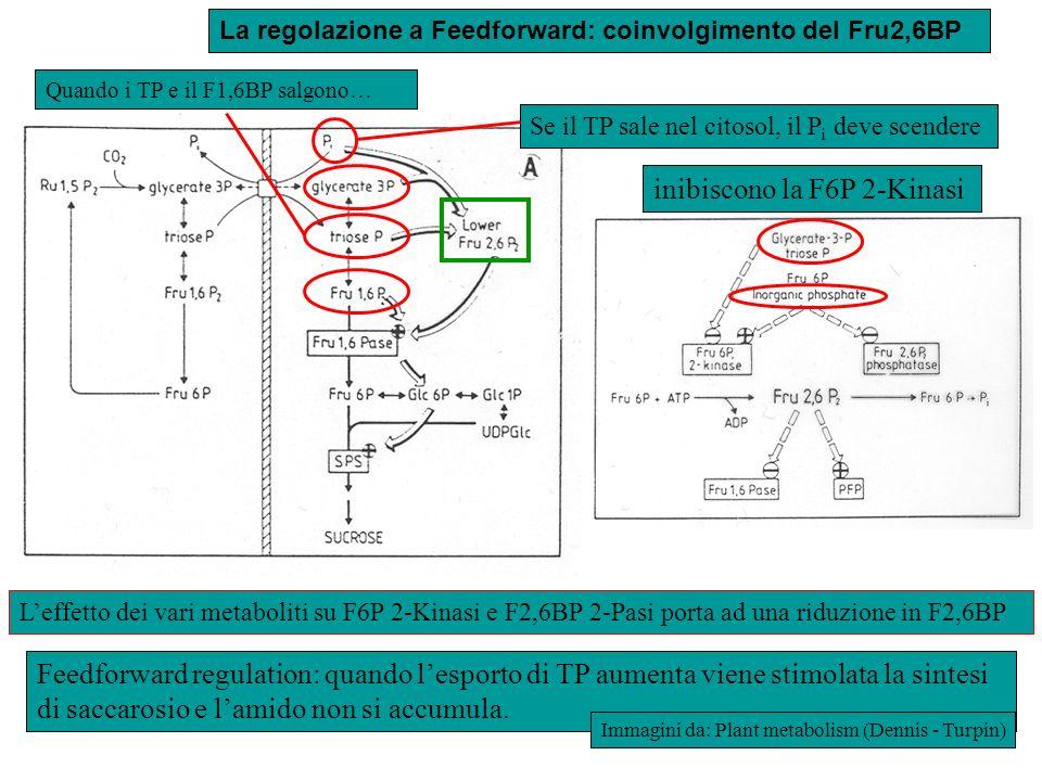 Feedforward regulation: quando lesporto di TP aumenta viene stimolata la sintesi di saccarosio e lamido non si accumula. La regolazione a Feedforward: