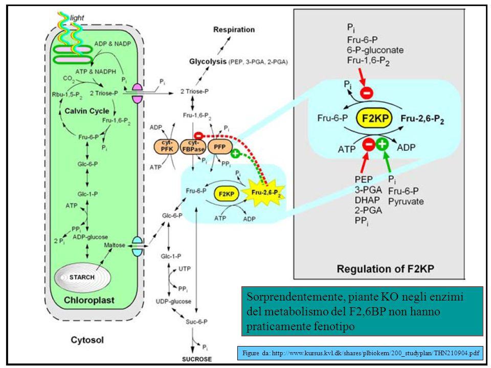 Figure da: http://www.kursus.kvl.dk/shares/plbiokem/200_studyplan/THN210904.pdf Sorprendentemente, piante KO negli enzimi del metabolismo del F2,6BP n
