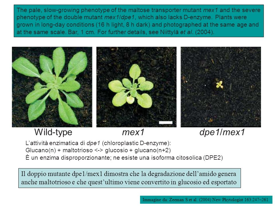 Wild-type mex1dpe1/mex1 The pale, slow-growing phenotype of the maltose transporter mutant mex1 and the severe phenotype of the double mutant mex1/dpe