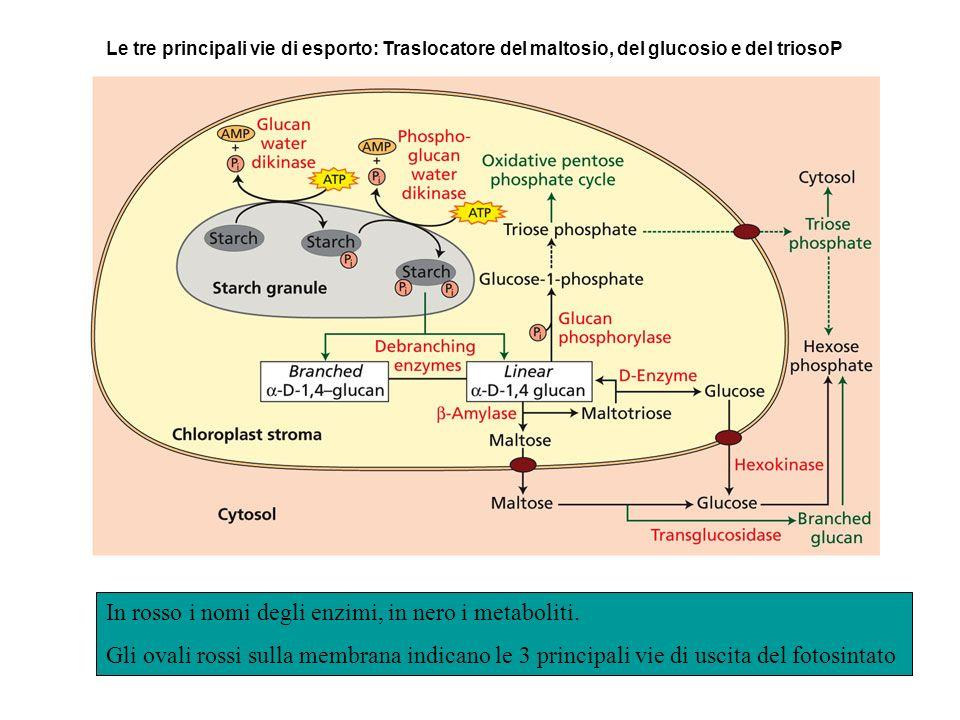 Le tre principali vie di esporto: Traslocatore del maltosio, del glucosio e del triosoP In rosso i nomi degli enzimi, in nero i metaboliti. Gli ovali