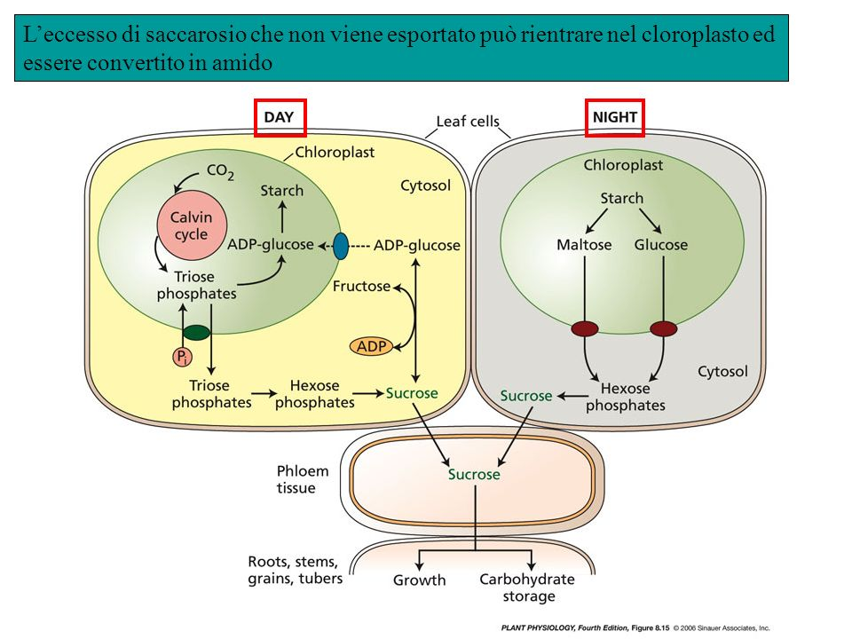 Leccesso di saccarosio che non viene esportato può rientrare nel cloroplasto ed essere convertito in amido