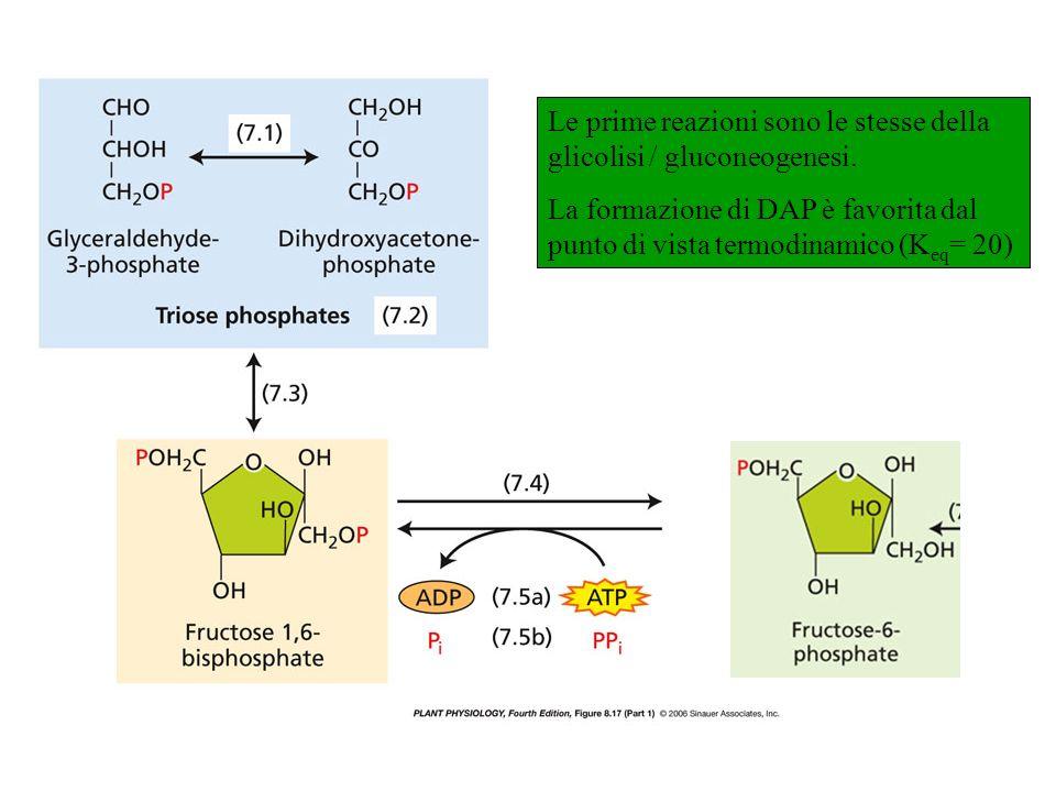 Le prime reazioni sono le stesse della glicolisi / gluconeogenesi. La formazione di DAP è favorita dal punto di vista termodinamico (K eq = 20) Fructo