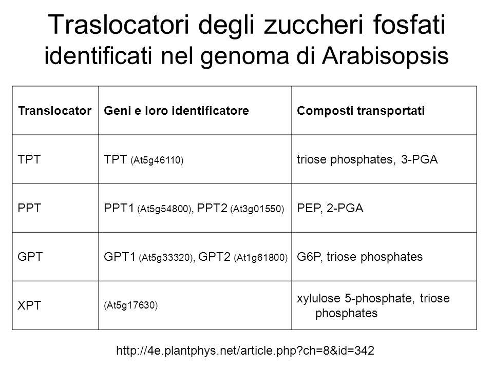 Traslocatori degli zuccheri fosfati identificati nel genoma di Arabisopsis TranslocatorGeni e loro identificatoreComposti transportati TPTTPT (At5g461