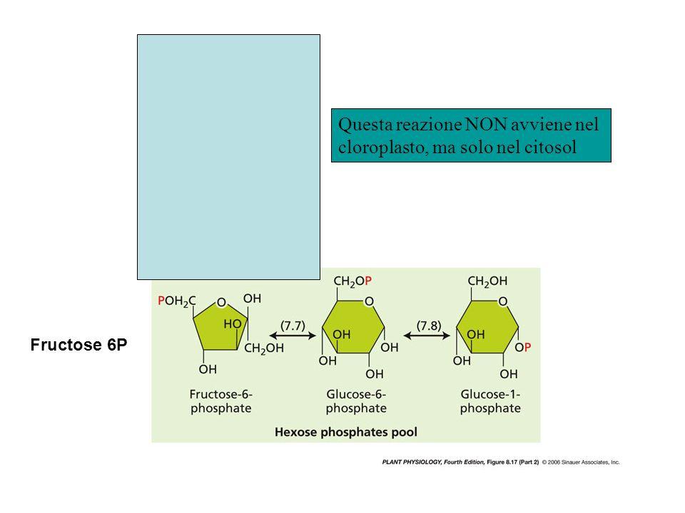 Questa reazione NON avviene nel cloroplasto, ma solo nel citosol Fructose 6P