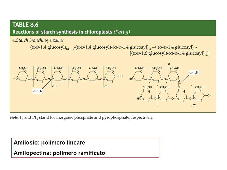 Amilosio: polimero lineare Amilopectina: polimero ramificato