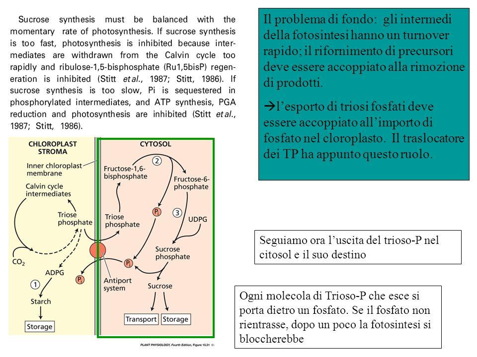 Il problema di fondo: gli intermedi della fotosintesi hanno un turnover rapido; il rifornimento di precursori deve essere accoppiato alla rimozione di