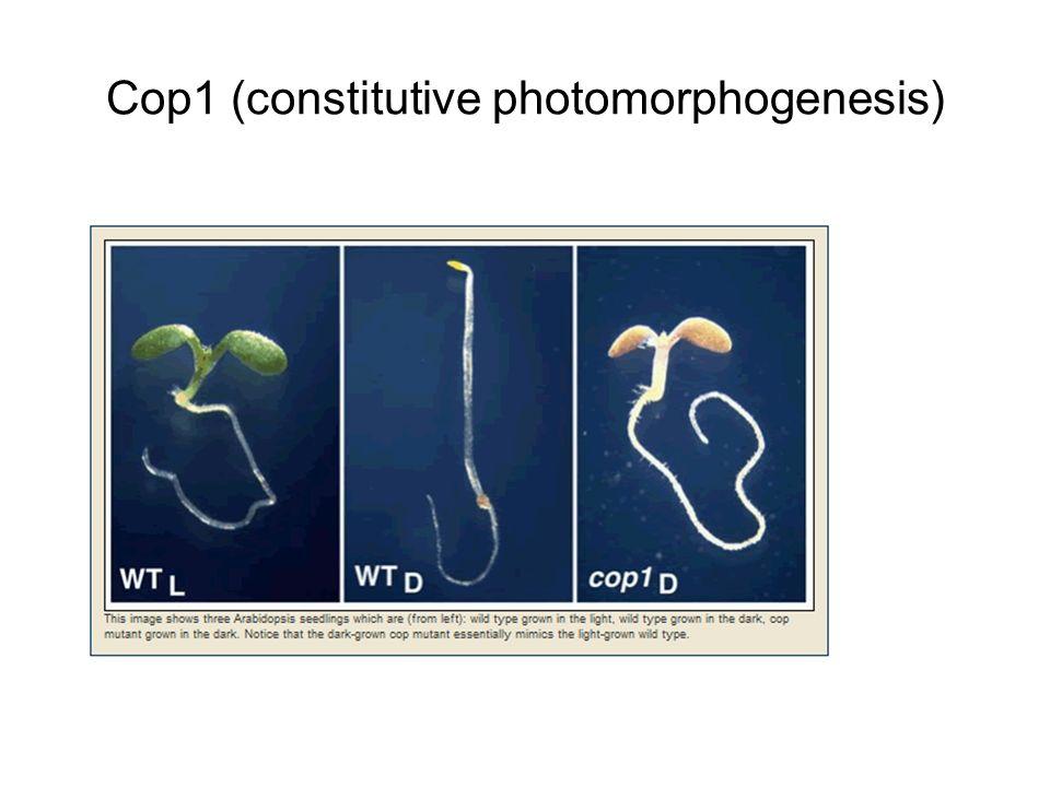 Cop1 (constitutive photomorphogenesis)