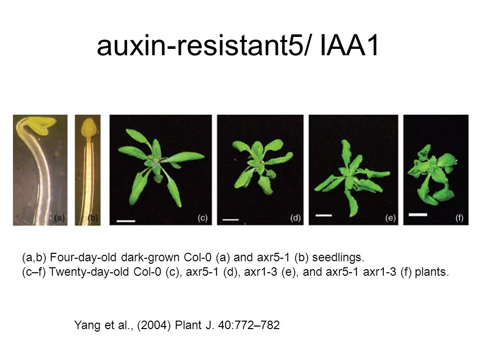 auxin-resistant5/ IAA1 (a,b) Four-day-old dark-grown Col-0 (a) and axr5-1 (b) seedlings.