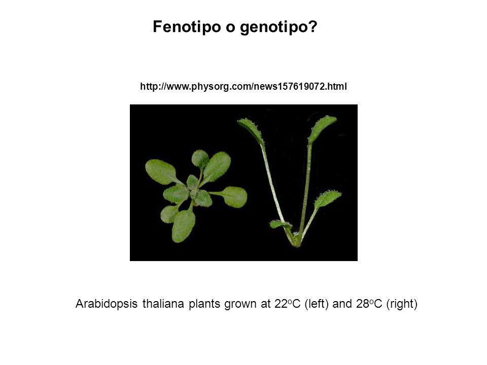 Arabidopsis thaliana plants grown at 22 o C (left) and 28 o C (right) http://www.physorg.com/news157619072.html Fenotipo o genotipo?
