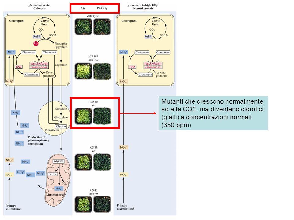 Mutanti che crescono normalmente ad alta CO2, ma diventano clorotici (gialli) a concentrazioni normali (350 ppm)