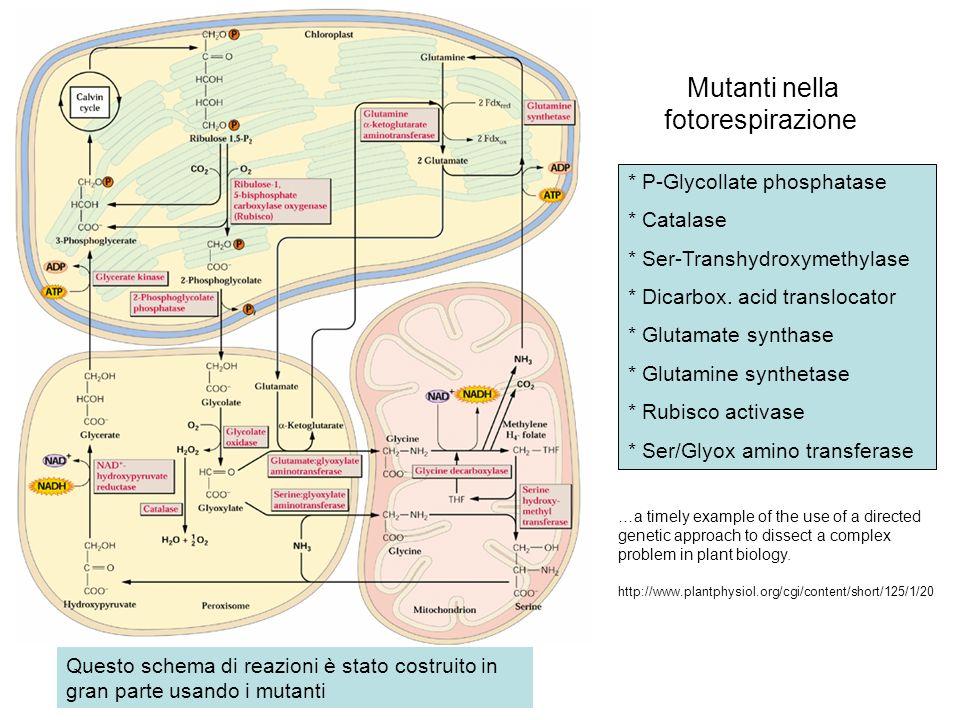 Mutanti nella fotorespirazione * P-Glycollate phosphatase * Catalase * Ser-Transhydroxymethylase * Dicarbox. acid translocator * Glutamate synthase *