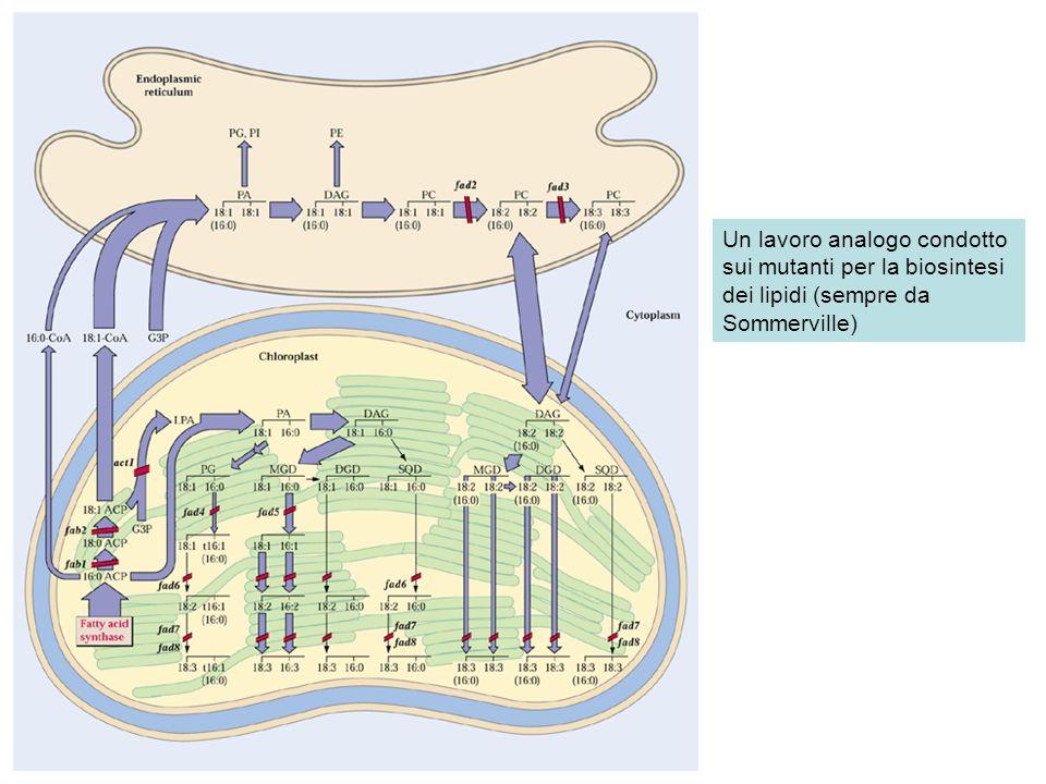 Un lavoro analogo condotto sui mutanti per la biosintesi dei lipidi (sempre da Sommerville)