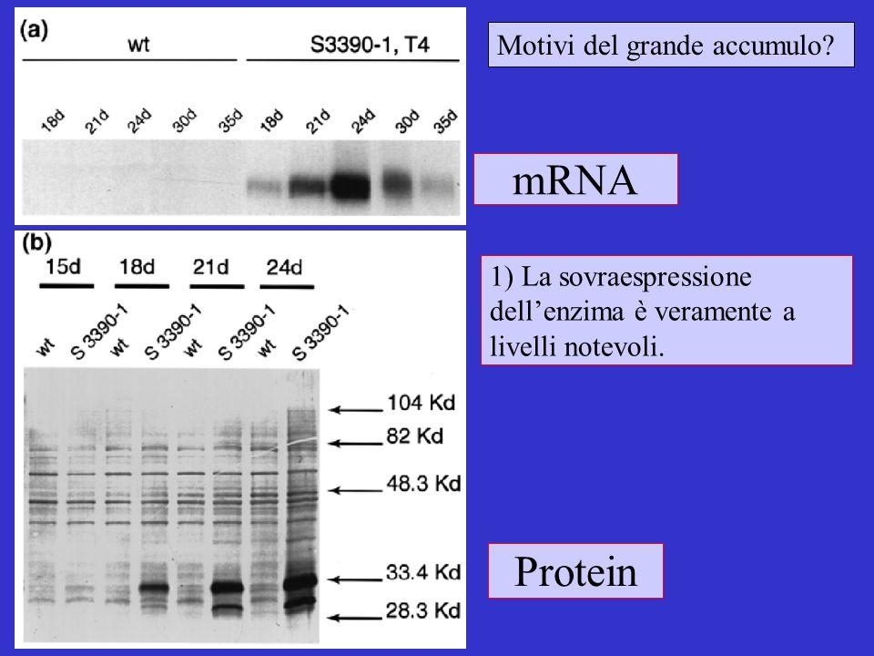 mRNA Protein Motivi del grande accumulo? 1) La sovraespressione dellenzima è veramente a livelli notevoli.