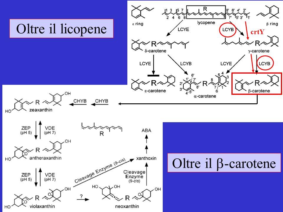 Naqvi et al., (2009) Transgenic multivitamin corn through biofortification of endosperm with three vitamins representing three distinct metabolic pathways.
