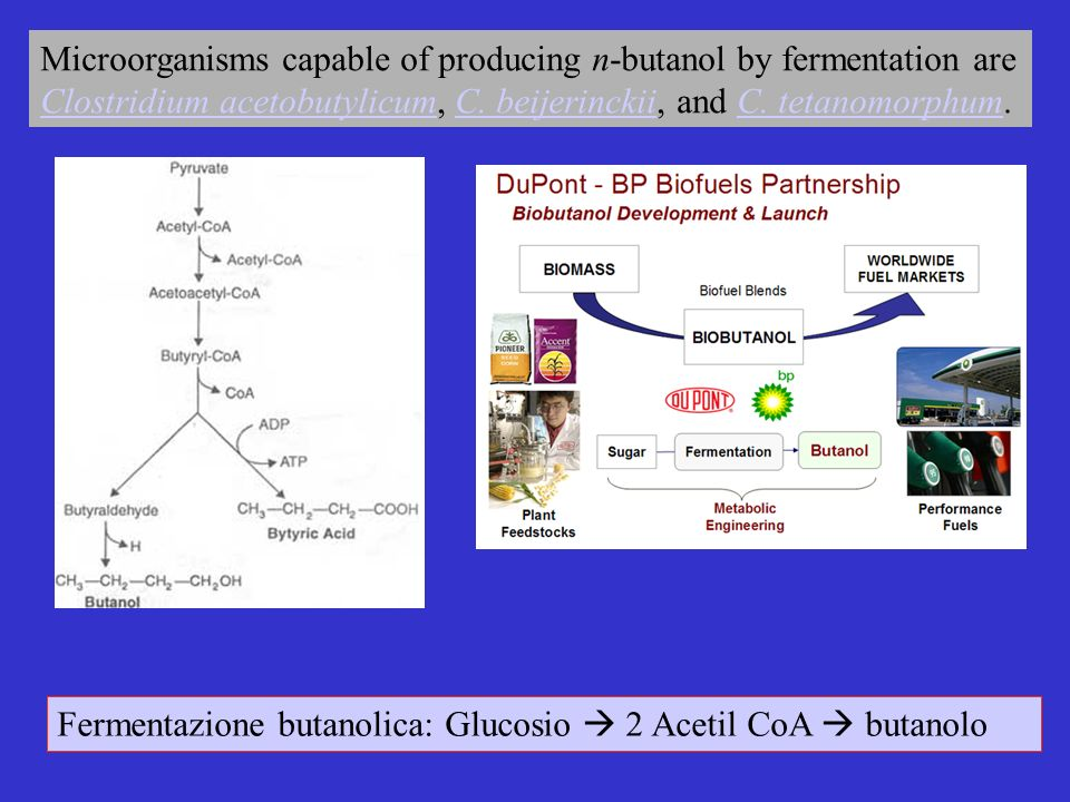 Fermentazione butanolica: Glucosio 2 Acetil CoA butanolo Microorganisms capable of producing n-butanol by fermentation are Clostridium acetobutylicum, C.