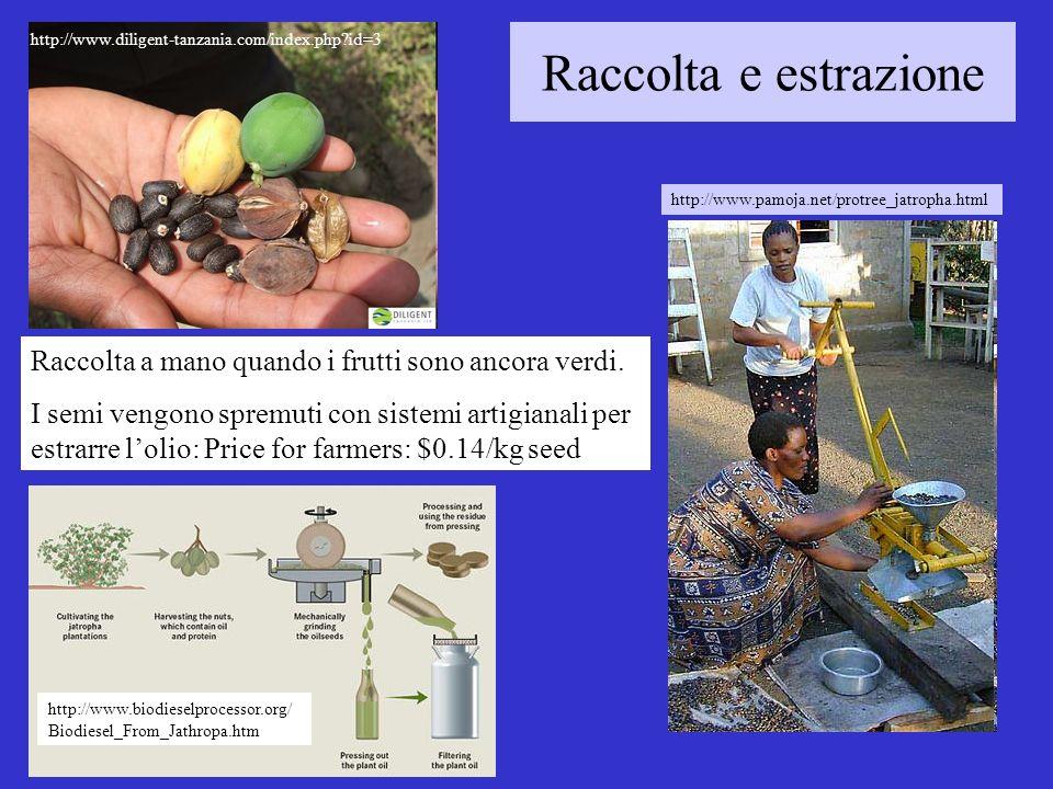 Raccolta e estrazione Raccolta a mano quando i frutti sono ancora verdi.