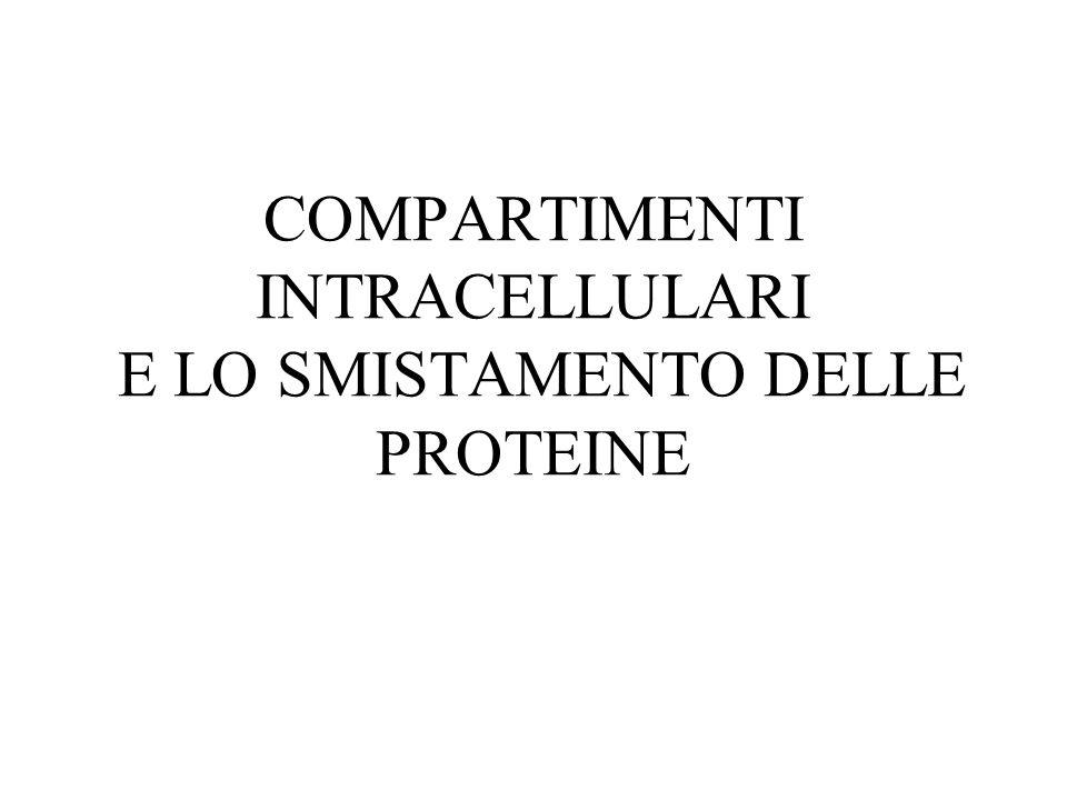 COMPARTIMENTI INTRACELLULARI NUCLEOCITOPLASMA CITOSOL Sito della sintesi e degradazione delle proteine ORGANELLI (compartimenti separati, attività specifiche) ORGANIZZAZIONE DI UNA CELLULA EUCARIOTICA
