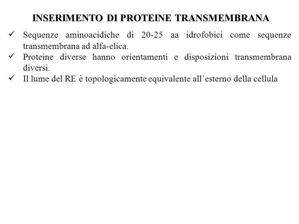 INSERIMENTO DI PROTEINE TRANSMEMBRANA Sequenze aminoacidiche di 20-25 aa idrofobici come sequenze transmembrana ad alfa-elica. Proteine diverse hanno