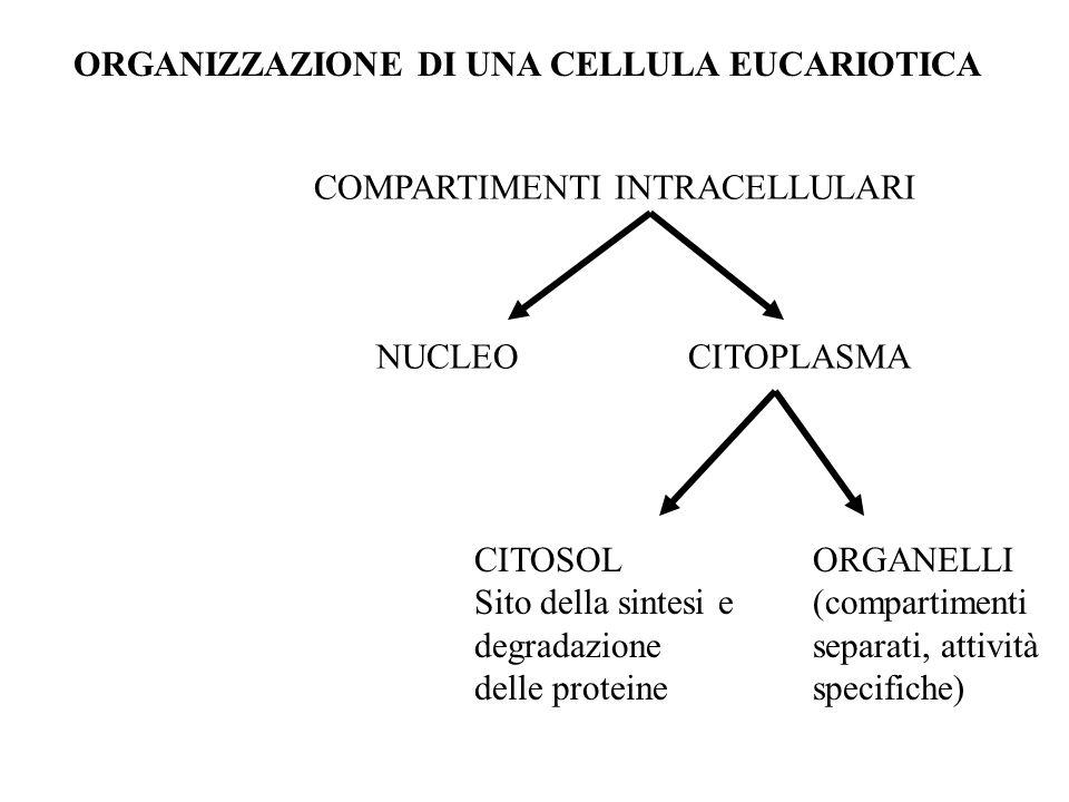 COMPARTIMENTI INTRACELLULARI NUCLEOCITOPLASMA CITOSOL Sito della sintesi e degradazione delle proteine ORGANELLI (compartimenti separati, attività spe