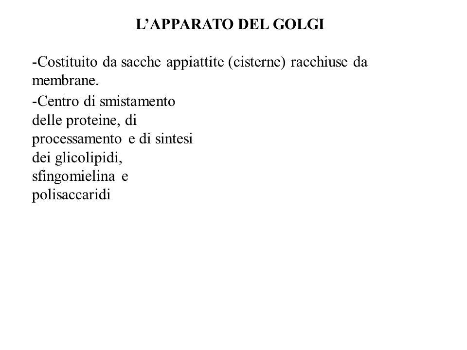 LAPPARATO DEL GOLGI -Costituito da sacche appiattite (cisterne) racchiuse da membrane. -Centro di smistamento delle proteine, di processamento e di si