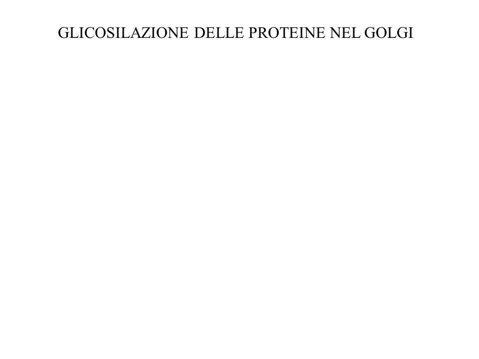 GLICOSILAZIONE DELLE PROTEINE NEL GOLGI